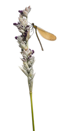 flowering plant: Vista laterale di una bella donna Demoiselle atterrato su una pianta a fiore, Calopteryx virgo, isolato su bianco Archivio Fotografico