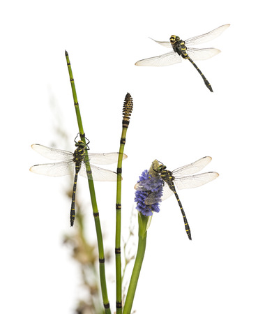 landed: Group of Cordulegaster bidentata landed on a plant, isolated on white