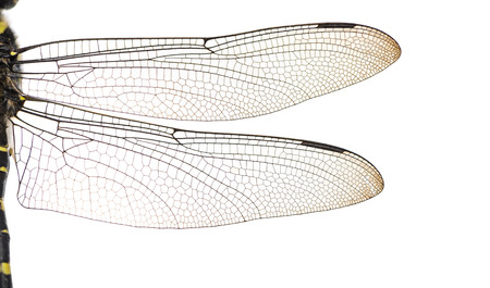 dragonfly wings: Macro of a Cordulegaster bidentatas wings, isolated on white