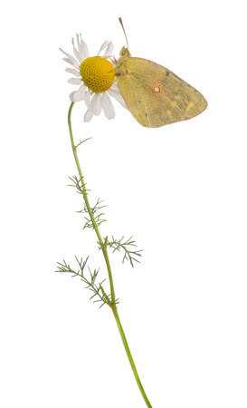 landed: Side view of a Clouded Sulphur landed on a daisy, Colias philodice, isolated on white