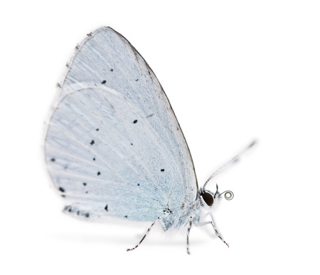 landed: Side view of a Holly Blue landed on the ground, Celastrina argiolus, isolated on white