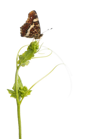 landed: Side view of a Map butterfly landed on a wild plant, Araschnia levana, isolated on white