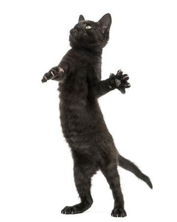 Black kitten standing on hind legs, playing, looking up, 2 months old, isolated on white photo