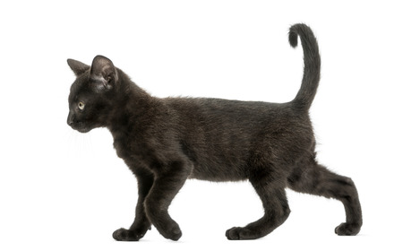 profile view: Side view of a Black kitten walking, 2 months old, isolated on white