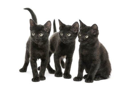 three months old: Group of three Black kittens looking in the same direction, 2 months old, isolated on white