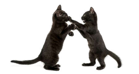 Side view of two Black kittens playing, 2 months old, isolated on white photo