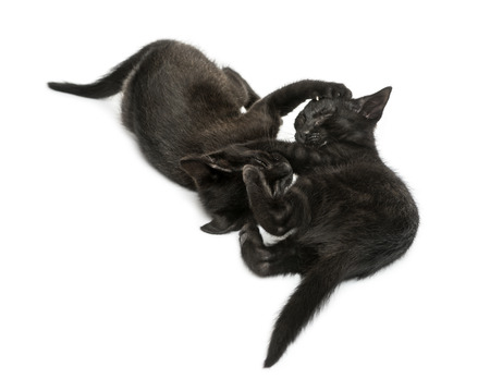 Two Black kittens playing, lying, viewed from up high, 2 months old, isolated on white photo
