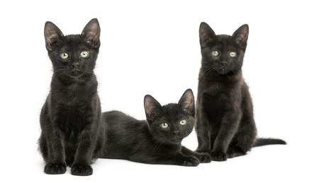 Three Black kittens looking at the camera, 2 months old, isolated on white photo