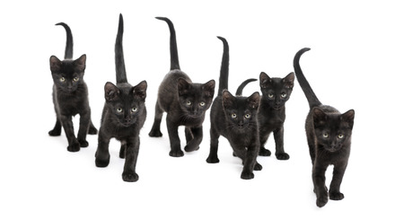 interplay: Front view of a Group of Black kitten walking in the same direction, 2 months old, isolated on white