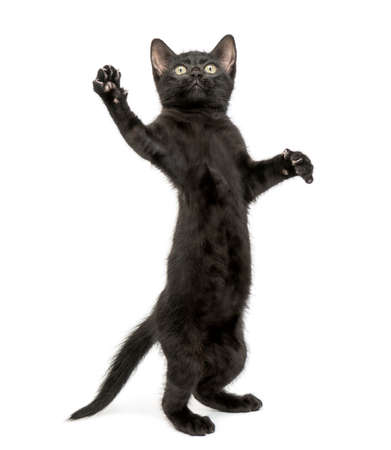 Black kitten standing on hind legs, reaching, pawing up, 2 months old, isolated on white photo