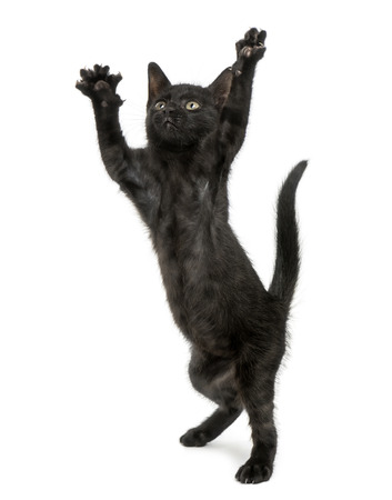 gato negro: Gatito negro de pie sobre las patas traseras, llegando, pateando arriba, 2 meses de edad, aislado en blanco