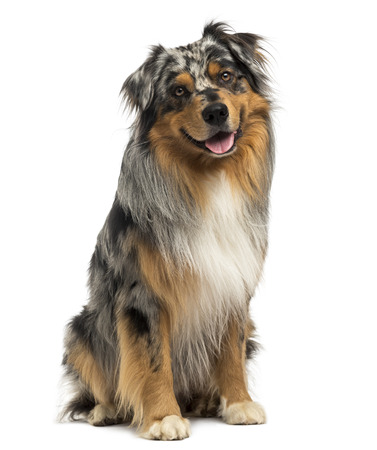 Australian shepherd blue merle sitting and panting, 4 years old, isolated on white photo