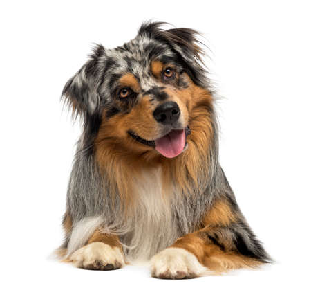 Australian shepherd blue merle, lying, panting, 4 years old, isolated on white photo