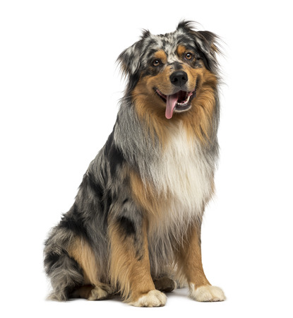 Australian shepherd blue merle, sitting, panting, 4 years old, isolated on white photo
