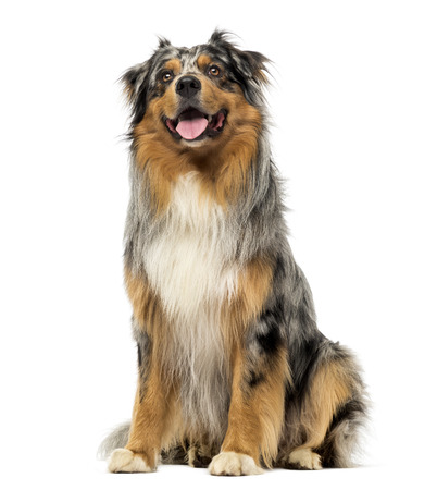 Australian shepherd blue merle, sitting, panting and looking up, 4 years old, isolated on white photo