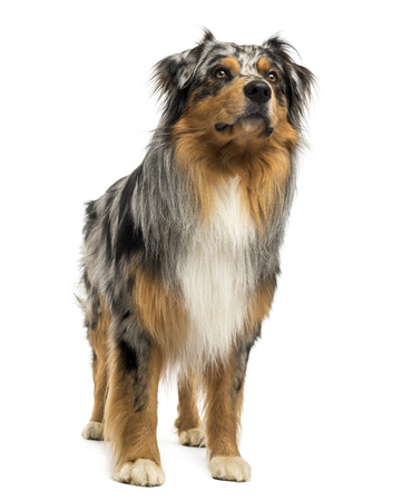 Australian shepherd blue merle standing, looking up, 4 years old, isolated on white photo