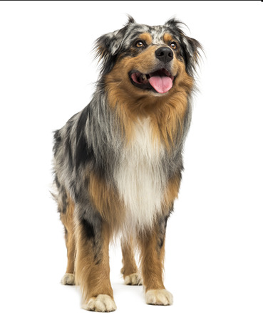Australian shepherd blue merle standing, panting, looking up, 4 years old, isolated on white photo