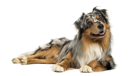 Australian shepherd blue merle, lying, panting, looking away, 4 years old, isolated on white photo