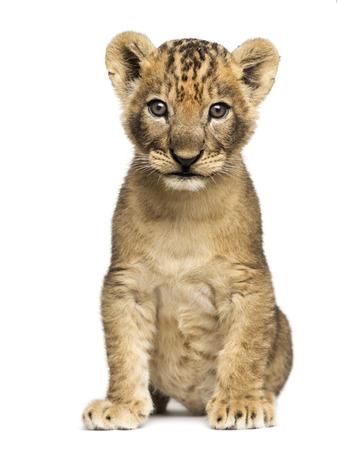 Львенок сидя, глядя в камеру, 7 недель, изолированных на белом