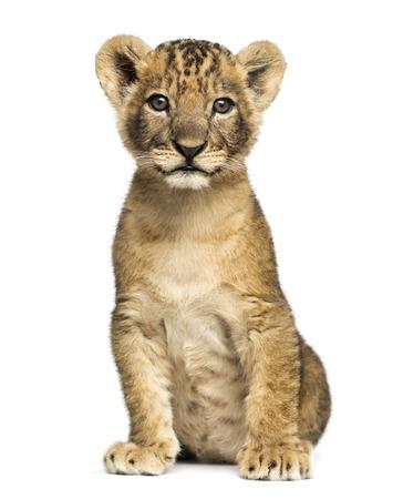 cachorro: Cachorro de león sentado, mirando a la cámara, 7 semanas de edad, aislado en blanco