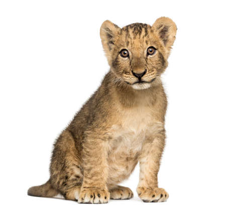 Lion cub sitting, looking at the camera, 10 weeks old, isolated on white Stock Photo