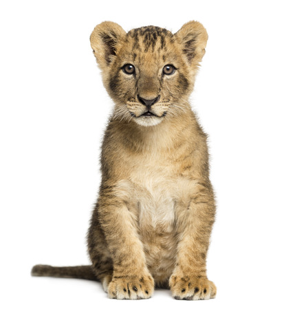 lion cub: Lion cub sitting, looking at the camera, 10 weeks old, isolated on white Stock Photo