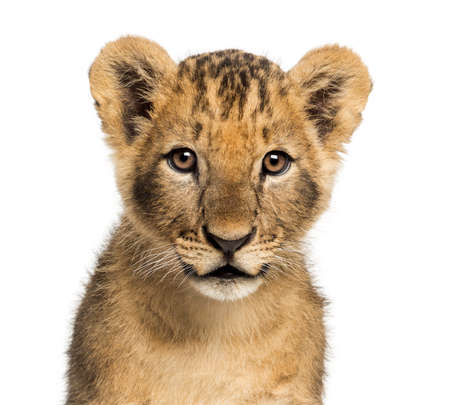 cachorro: Primer plano de un cachorro de león mirando a la cámara, 10 semanas de edad, aislado en blanco
