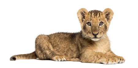 Side view of a Lion cub lying, looking at the camera, 10 weeks old, isolated on white