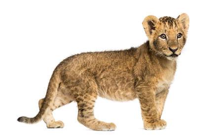 cachorro: Vista lateral de un cachorro de león que se coloca, mirando a otro lado, 10 semanas de edad, aislado en blanco