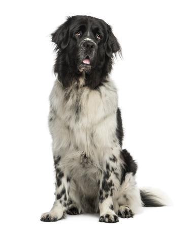 cane terranova: Terranova cane seduto, ansante, guardando in alto, 2 anni, isolato su bianco Archivio Fotografico