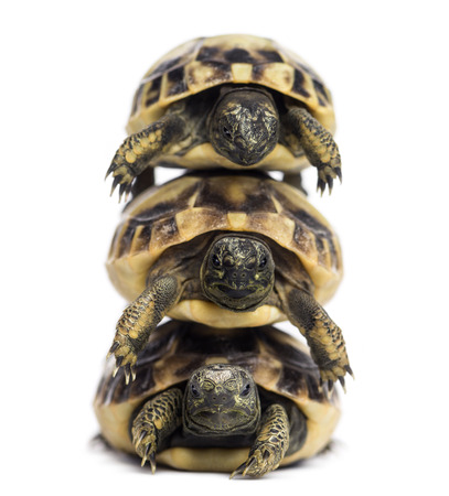 Front view of three baby Hermanns tortoise piled up, Testudo hermanni, isolated on white photo