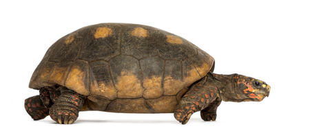 Side view of a Red-footed tortoise walking, Chelonoidis carbonaria, isolated on white photo