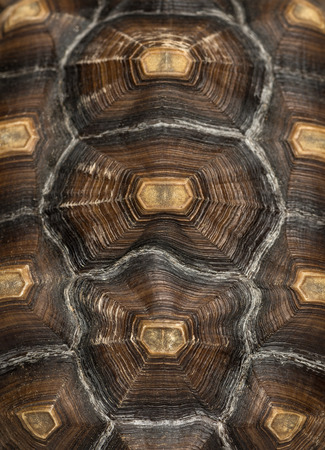 spurred: Close-up of an African Spurred Tortoises carapace, Geochelone sulcata, isolated on white Stock Photo