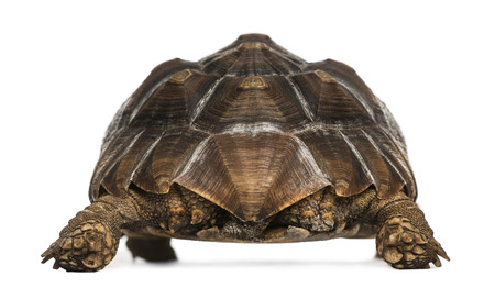 spurred: Rear view of an African Spurred Tortoise standing, Geochelone sulcata, isolated on white