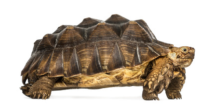 spurred: Side view of an African Spurred Tortoise standing, Geochelone sulcata, isolated on white
