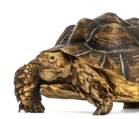 spurred: Close-up of an African Spurred Tortoise looking at the camera, Geochelone sulcata, isolated on white