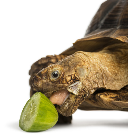 spurred: Close-up of an African Spurred Tortoise eating a bit of cucumber, Geochelone sulcata, isolated on white Stock Photo