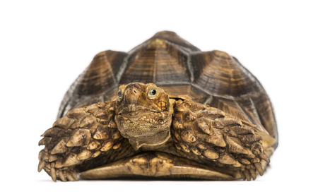sulcata: Front view of an African Spurred Tortoise, Geochelone sulcata, isolated on white