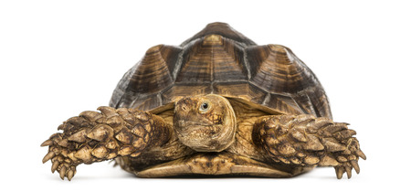spurred: Front view of an African Spurred Tortoise, Geochelone sulcata, isolated on white