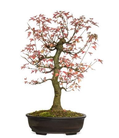 acer: Trident Maple bonsai tree, Acer buergerianum, isolated on white Stock Photo