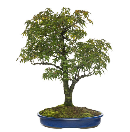 acer: Acer bonsai tree, isolated on white