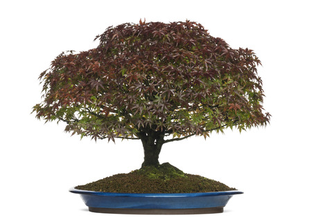 acer palmatum: Acer palmatum Kiyohime bonsai tree, isolated on white