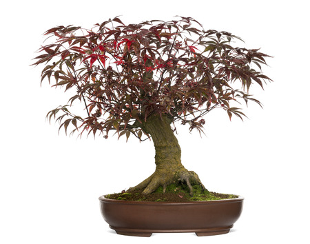 Japanese Maple bonsai tree, Acer palmatum, isolated on white photo