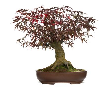 acer palmatum: Japanese Maple bonsai tree, Acer palmatum, isolated on white