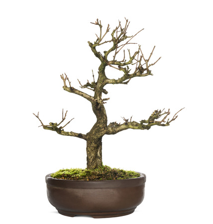 bonsai tree: Pomegranate bonsai tree, Punica granatum, isolatedon white Stock Photo