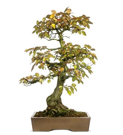bonsai tree: Korean Hornbeam bonsai tree, Carpinus turczaninowii, isolated on white