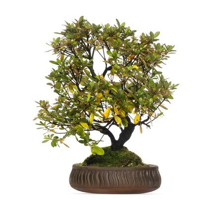 bonsai tree: Rhododendron bonsai tree, isolated on white