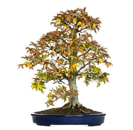 bonsai tree: Beech bonsai tree, Fagus, isolated on white