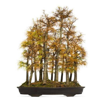 bonsai tree: Golden larch bonsai tree, Pseudolarix amabilis, isolated on white