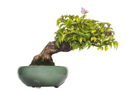bonsai tree: Bougainvillea bonsai tree, isolated on white